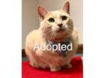 Adopt Benny a Orange or Red Domestic Shorthair / Mixed cat in Youngsville