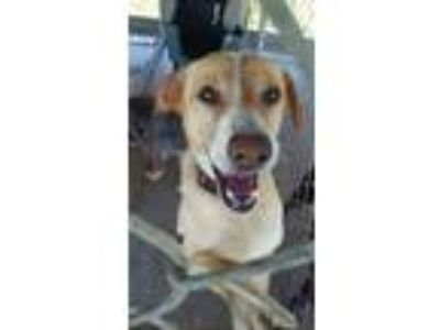 Adopt Buttercup a White - with Red, Golden, Orange or Chestnut Hound (Unknown