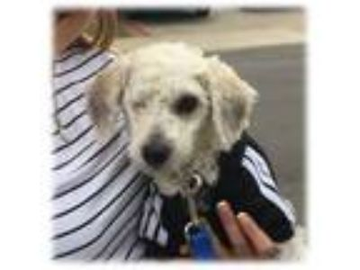 Adopt Willie a Bichon Frise