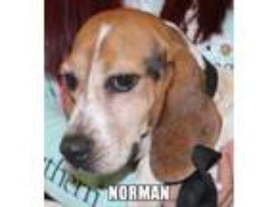 Adopt Norman Richland a Beagle