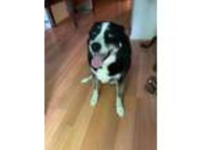 Adopt Ally a Black - with White Anatolian Shepherd / Hound (Unknown Type) /