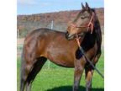 Adopt Sierra a Morgan / Mixed horse in Quakertown, PA (24198535)