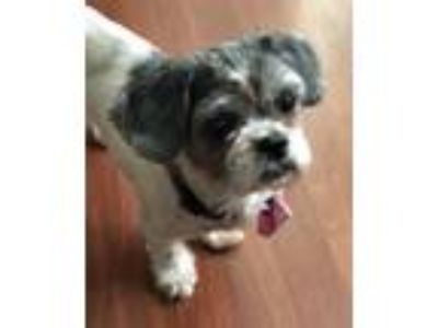 Adopt Bella a Black - with White Shih Tzu / Mixed dog in Plantation