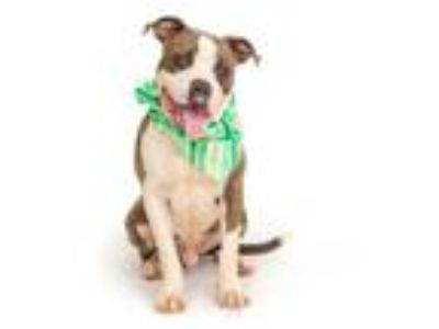 Adopt CREDOS a Pit Bull Terrier, Mixed Breed