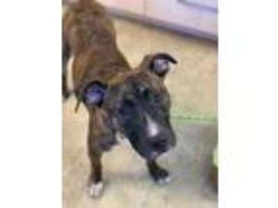 Adopt Porter a Brindle American Pit Bull Terrier / Mixed dog in Chicago