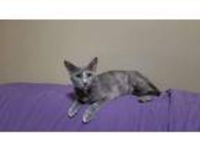 Adopt Storm a Tortoiseshell Domestic Shorthair (short coat) cat in Cleveland