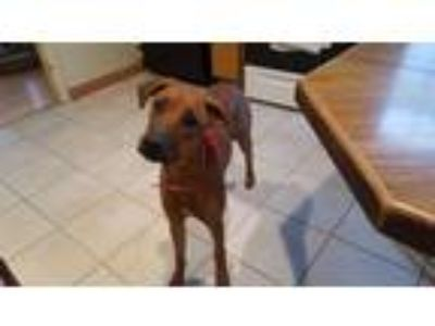 Adopt Layla a Tan/Yellow/Fawn Greyhound / Doberman Pinscher / Mixed dog in