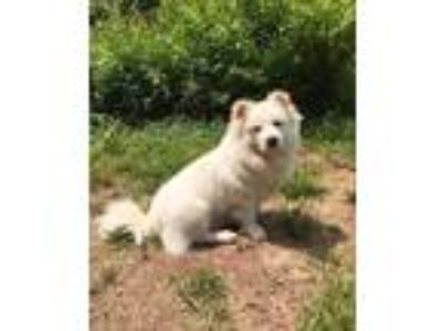 Adopt Furball a White Eskimo Dog / Corgi / Mixed dog in Doylestown