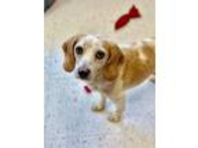 Adopt Sandy a Beagle / Mixed dog in Raleigh, NC (25286082)
