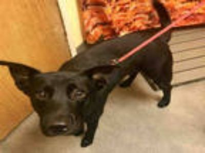 Adopt SHADOW a Black German Shepherd Dog / Mixed dog in Upper Marlboro