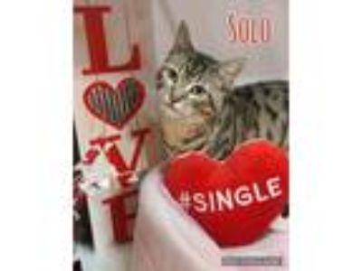 Adopt Solo a Brown Tabby Domestic Shorthair (short coat) cat in Arlington/Ft