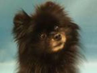 Adopt Maybe a Pomeranian, Mixed Breed