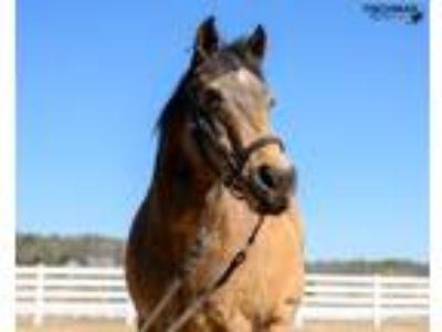 Adopt Nevada a Buckskin Mustang horse in Kerhonkson, NY (25918806)