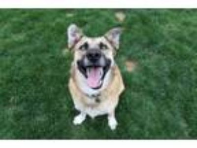 Adopt Willa a German Shepherd Dog, Anatolian Shepherd