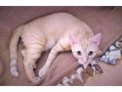 Adopt Nahla a Orange or Red Domestic Shorthair / Mixed (short coat) cat in Fort