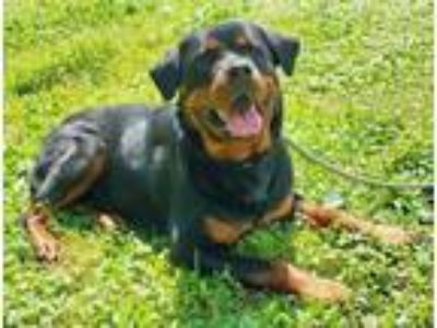 Adopt Missy a Black Rottweiler / Mixed dog in Spring City, PA (25666189)