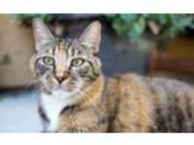 Adopt Carly a Tortoiseshell Domestic Shorthair (short coat) cat in Lincoln