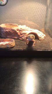 Leopard Gecko with tank, lights and all supplies