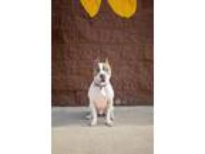 Adopt Corbin a American Staffordshire Terrier, Pit Bull Terrier