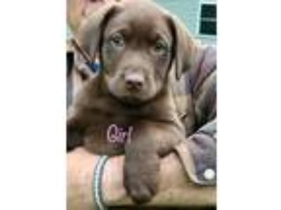 Adopt Sweet pea and her sisters a Brown/Chocolate Labrador Retriever / Mixed dog