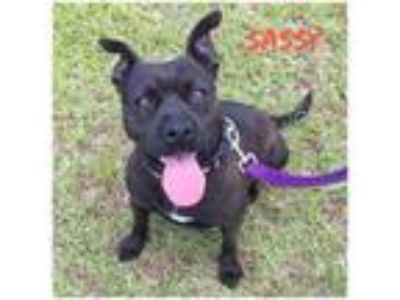 Adopt Sassy a Pit Bull Terrier