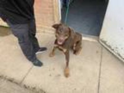 Adopt cowboy a Brown/Chocolate Retriever (Unknown Type) / Mixed dog in Joshua