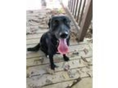 Adopt Nadya a Black Labrador Retriever / Miniature Pinscher / Mixed dog in