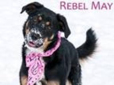 Adopt Rebel May a Border Collie, Rottweiler