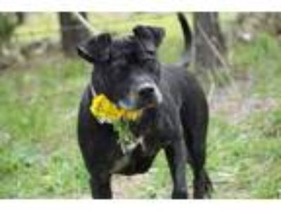 Adopt Gemini a Black American Pit Bull Terrier / Mixed dog in Justin