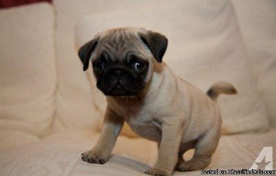 NICE M/F PUG PUPPIES Available For Sale