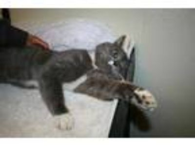 Adopt *FANDANGO a Gray or Blue (Mostly) Domestic Shorthair / Mixed (short coat)
