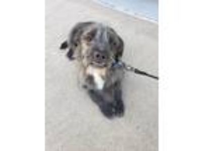 Adopt Stray Terrier X a Standard Poodle, Boston Terrier