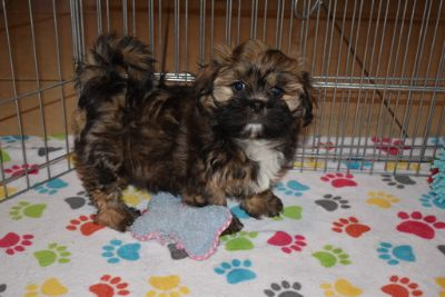 Lhasa Apso PUPPY FOR SALE ADN-106375 - Lhasa Apso Puppy
