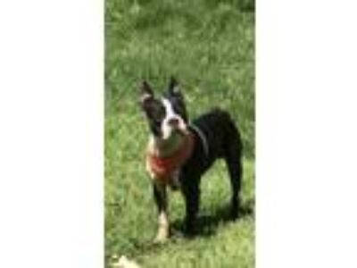 Adopt 5170 Buster a Boston Terrier