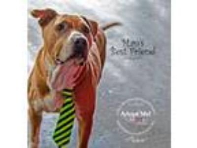 Adopt Prince Charming a American Staffordshire Terrier