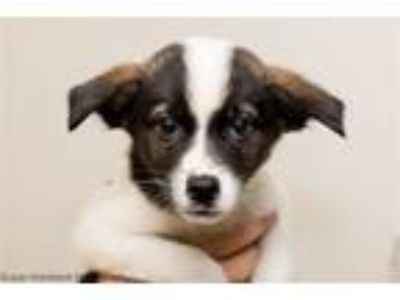 Adopt Bran a Australian Cattle Dog / Blue Heeler