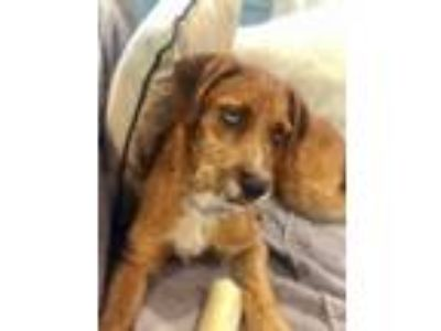 Adopt Monty a Wirehaired Dachshund, Wirehaired Terrier