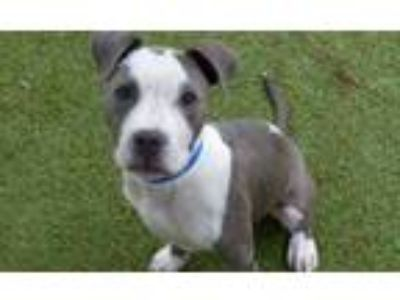 Adopt *TANK a Gray/Silver/Salt & Pepper - with White American Pit Bull Terrier /
