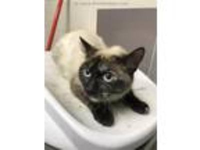 Adopt A317717 a Siamese, Domestic Short Hair