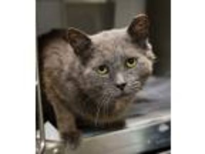 Adopt Fortnight a Domestic Shorthair / Mixed cat in Charlottesville