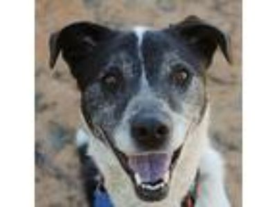 Adopt Grace a Cattle Dog, Border Collie