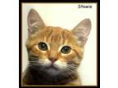Adopt Stewie a Orange or Red Domestic Shorthair / Domestic Shorthair / Mixed cat