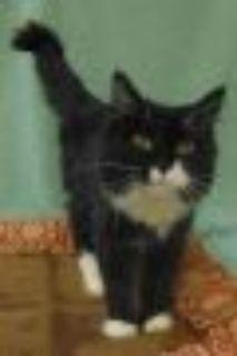 Slinky Domestic Long Hair - Domestic Short Hair Cat