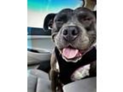 Adopt Norma Jean a Pit Bull Terrier
