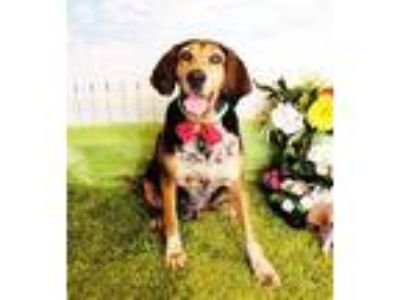 Adopt Natasha a Tricolor (Tan/Brown & Black & White) Hound (Unknown Type) /