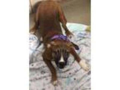 Adopt June a Tan/Yellow/Fawn Labrador Retriever / Boxer / Mixed dog in South