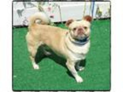 Adopt GRAMPS a Tan/Yellow/Fawn - with White Pug / Beagle / Mixed dog in