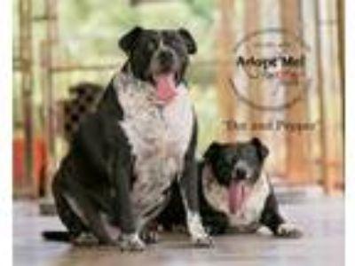 Adopt Dot & Pepper a Black Labrador Retriever, Australian Cattle Dog / Blue