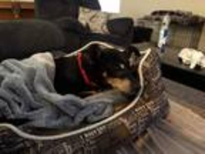 Adopt Molly a Black - with Tan, Yellow or Fawn Miniature Pinscher / Mixed dog in