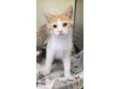 "Adopt CA 114 ""Sammy"" a Domestic Short Hair"